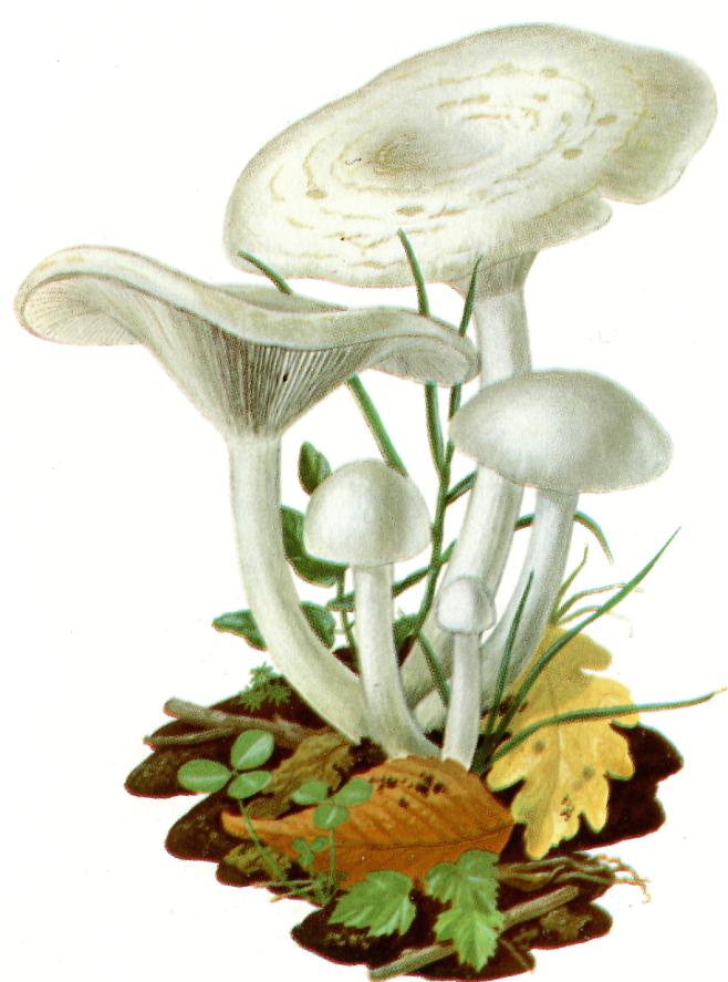 Fungo Clitocibe bianca
