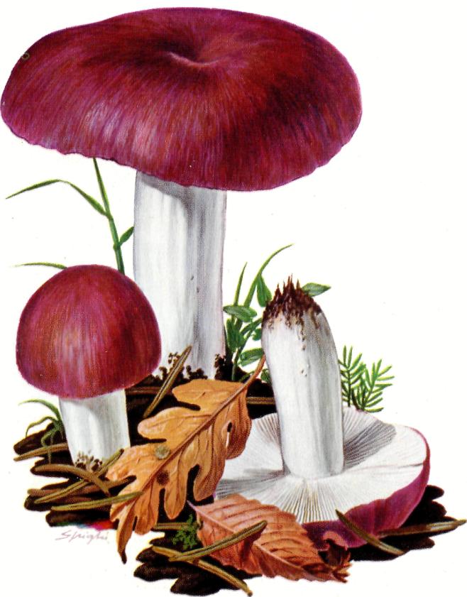 Russula cyanoxantha Colombina maggiore