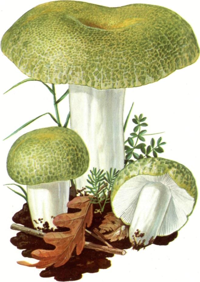 Russula virescens Colombina verde