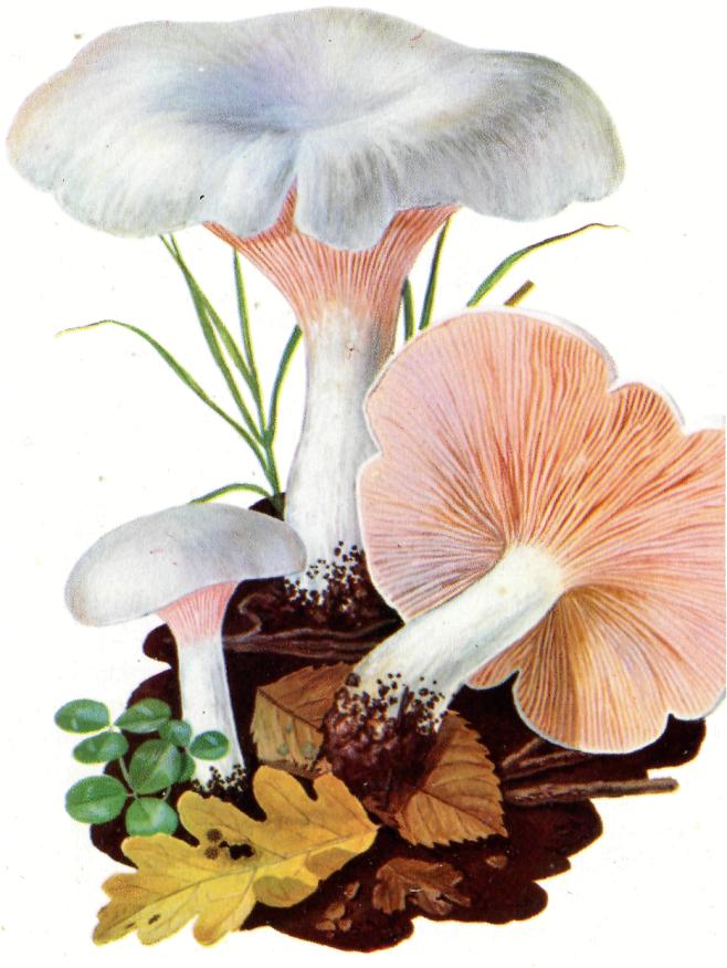 Clitopylus prunulus Falso prugnolo