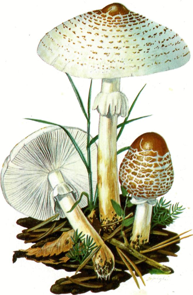 Fungo Lepiota cristata