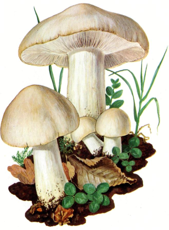 Lyophyllum georgii  Prugnolo o fungo di San Giorgio