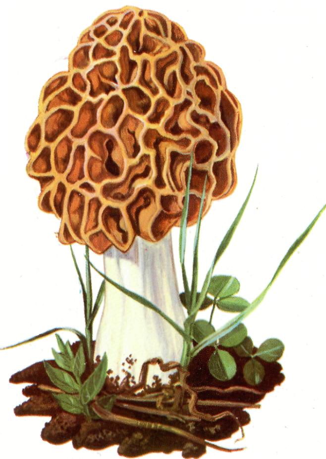 Morchella rotunda Spugnola gialla