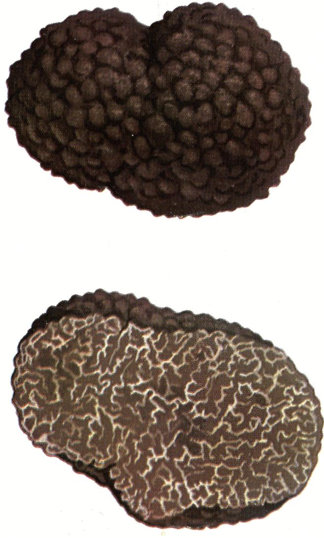 Tuber melanosporum Tartufo nero