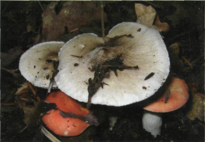 Armyllaria Mellea commestibile dopo cottura
