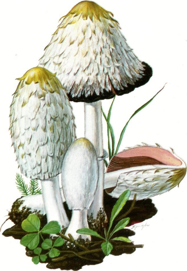 Coprinus chiomatus Coprino chiomato: ECCELLENTE
