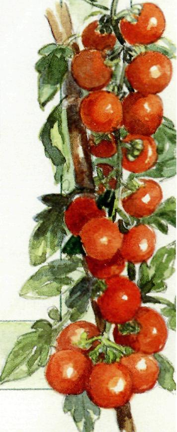 pomodori ciliegina