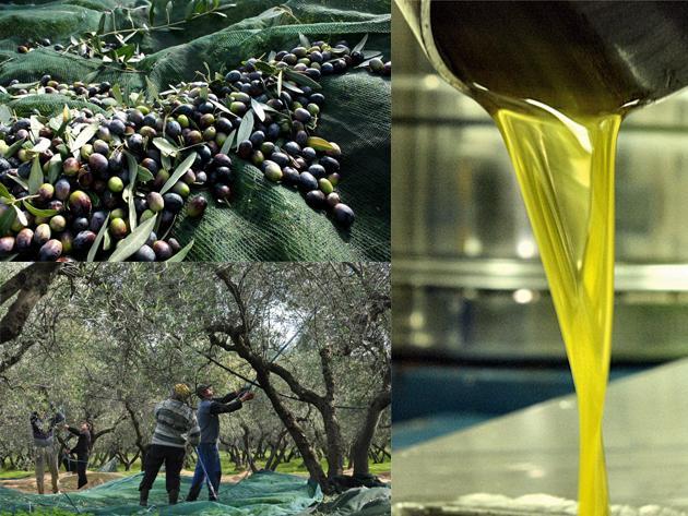 Raccolta delle olive e tanica d'olio di oliva extravergine