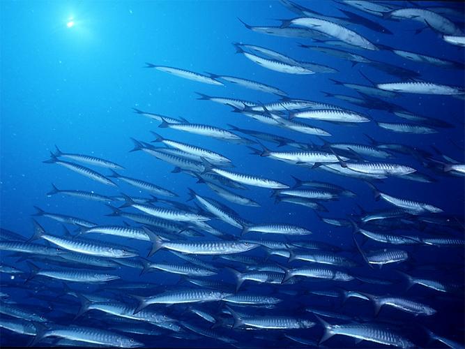 Barracuda del mediterraneo