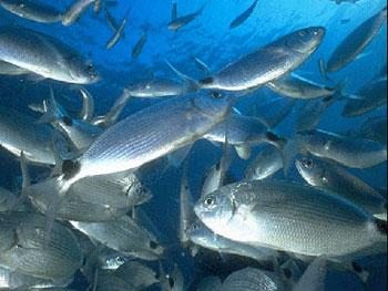 Occhiata: si trova nell'Adriatico e nel Tirreno. E' un pesce prelibato